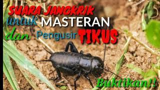 Download Mp3 Suara Jangkrik Masteran Dan Pengusir Tikus   Buktikan!!