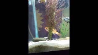 Snook Cichlid and Green Terror vs feeder fish