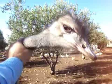 Ostrich attacks man  - Στρουθοκάμηλος Επιτίθεται σε άνθρωπο