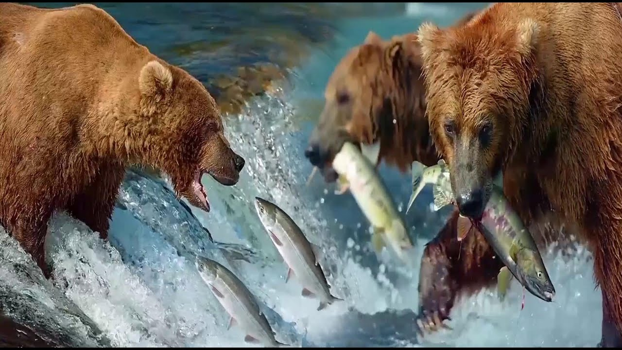 Grizzly Bears Catching Salmon Fishs   Nature's Great Events   Wild Animals   Nature4k