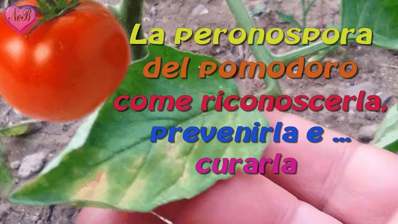 La Peronospora Del Pomodoro