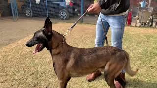 Belgian Malinois | Buddy Pets Gurugram | Working Line Dog Breeds | Scoobers