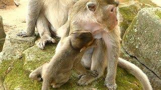 Baby Maci Hungry Milk | Mother Marry No Feeding Milk | Monkey Crying