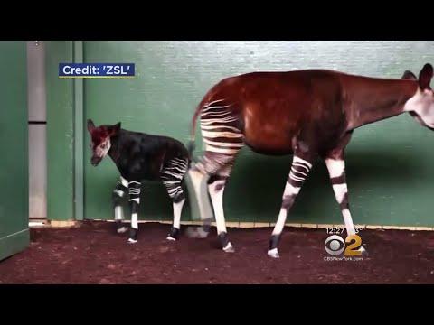 London Zoo Names Okapis After Meghan Markle