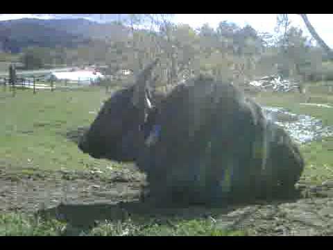 Vermont Yak 2009: Jet Black, Alpha Male