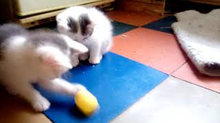 Киндер-сюрприз vs котята