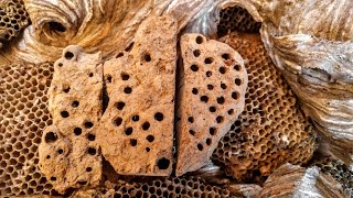 Wasp Nest removal Mud Daubers Paper Wasp