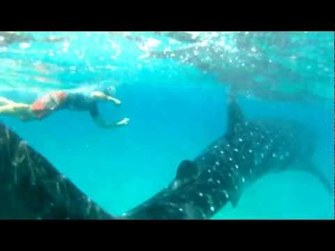 Swimming With Whale Sharks in Mozambique