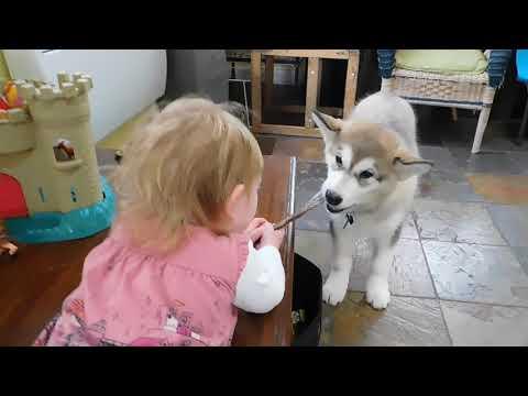 Alaskan Malamute Puppy Therapy Dog Training