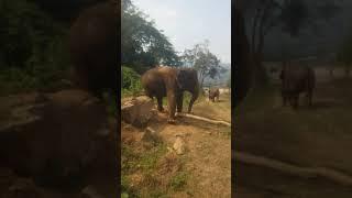 태국 코끼리 뒷걸음질 | Elephant walking…
