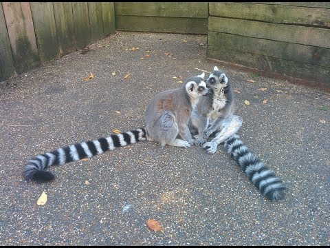 ''In With The Lemurs'' at London Zoo! Meet the Lemurs! Zoological Society of London.