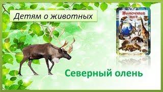 Детям о животных. Северный олень