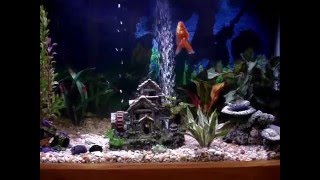 45 Gallon Goldfish Aquarium - Fantails, Red Cap Oranda