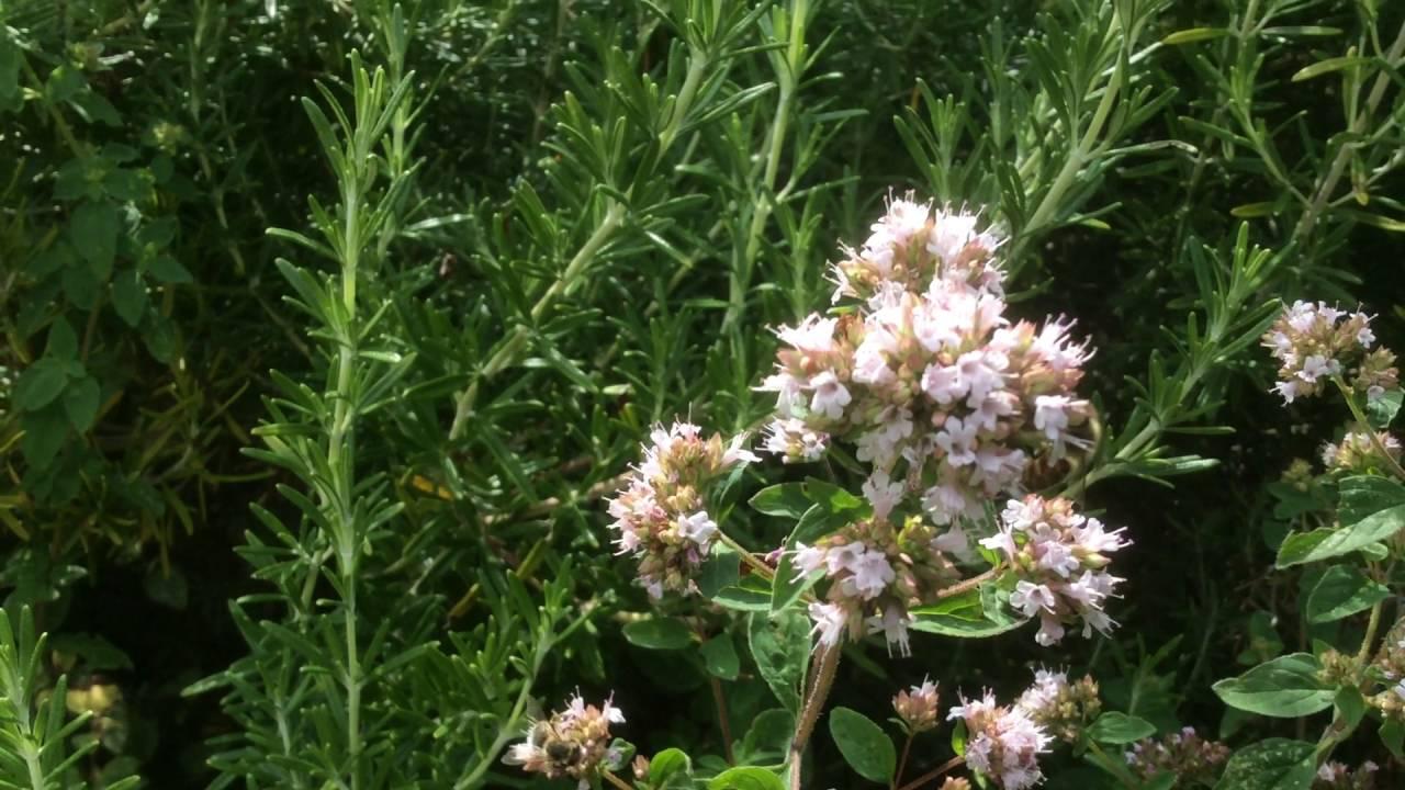 marjolaine ou 39 origan des jardin 39 les abeilles se d chainent youtube. Black Bedroom Furniture Sets. Home Design Ideas