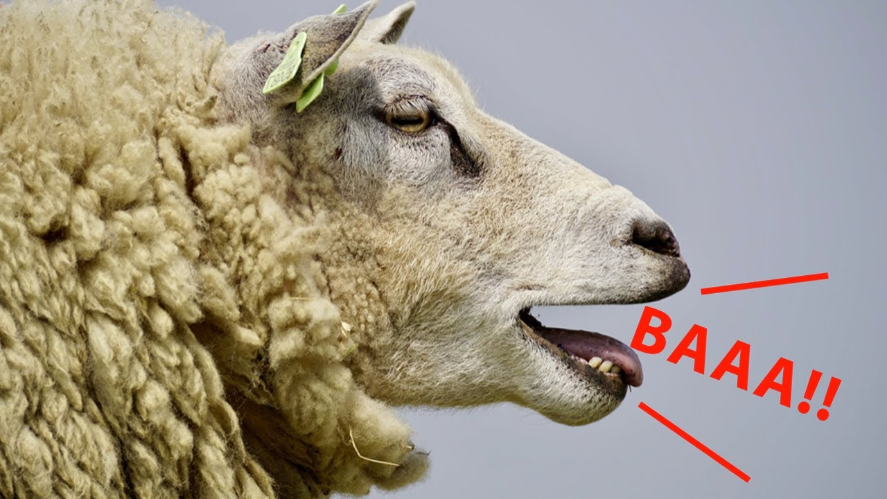 Sheep Sound Effect | BAING Real Farm Animals | Great for ...