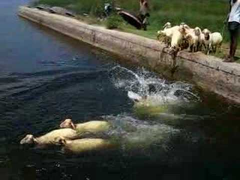 sheep swimming - YouTube