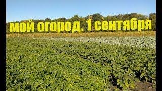 перец, Хризантема, Капуста, Баклажан - полный обзор огорода