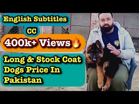 German Shepherd Long Coat And Stock Coat Puppies Prices In Pakistan