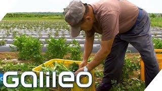 Bio-Gemüse vom Flughafen - So ist das möglich | Galileo | ProSieben