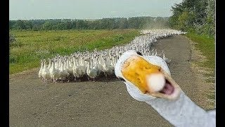 Angry Goose Chasing People And Animals Funny Geese Attack s Compilation 2018