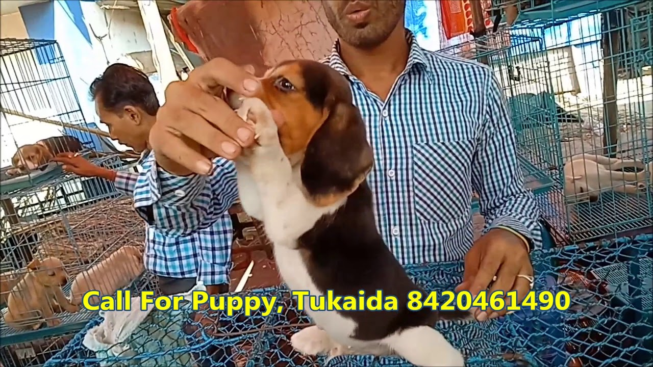 Playful Beagle Puppy For At Galiff