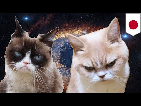Koyuki cat is the newest angry feline Internet sensation that could rival Grumpy Cat  Tomo