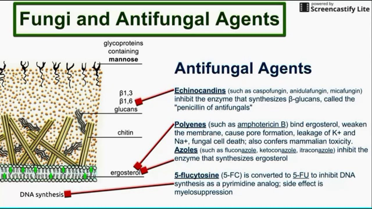 Fungi And Antifungal Agents Youtube