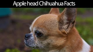 Apple Head Chihuahua Facts [2020]
