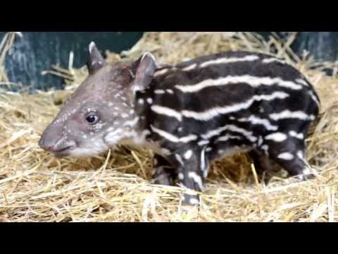 Squeak is named for the sound tapirs make to communicate.