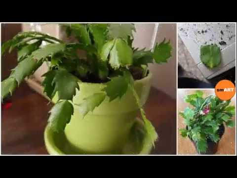 Christmas Cactus Cuttings - Christmas Cactus Bloom - YouTube