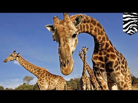 Giraffe extinction: World's tallest animal endangered, says IUCN - TomoNews