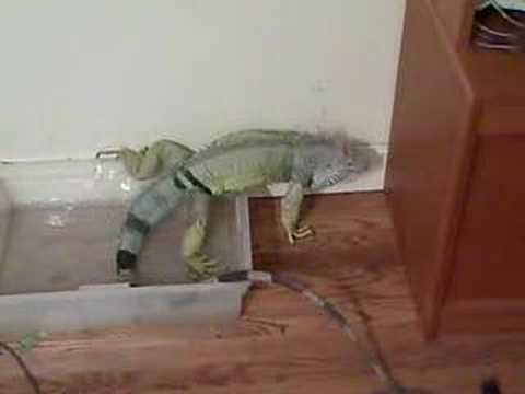 A Housebroken Iguana Taking Care Of Business
