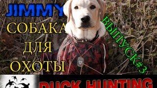 Собака для охоты на утку.Лабрадор