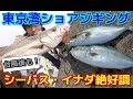 【東京湾奥ショアジギング】イナダ・シーバス大型台風通過後も絶好調!