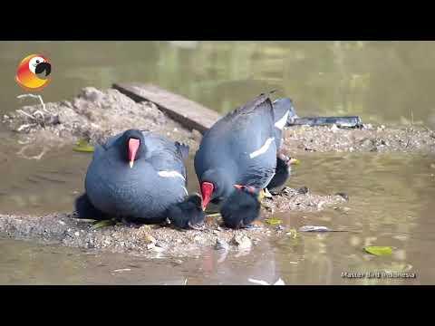TAU GAK KALIAN!?!? dengan Burung Mandar Besar