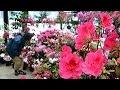 春の彩りアザレア満開 札幌・豊平公園 90種400鉢展示 (2015/02/25) 北海道…