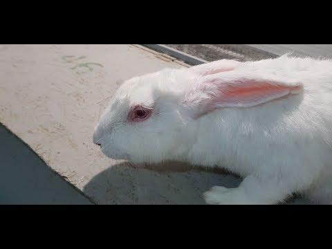 Вопрос: Кролик может чихать из-за засоренного слезного канала (см.)?