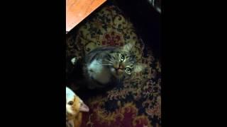 кот подающий голос