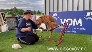 Balance training with Kanutten the Golden retriever | Team Bissevov Dogtraining