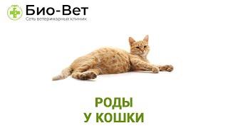 Роды у кошки. Ветеринарная клиника Био-Вет.