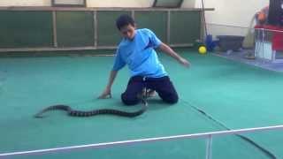Укус змеи на 'Шоу кобры' в Тайланде.