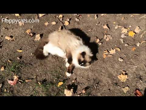 why do cats roll around in the dirt - Ragdoll Cat Charlie Takes A Dust Bath - Floppycats