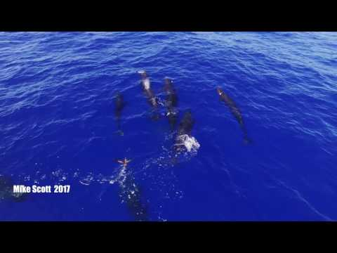 Rare drone footage captures Pilot Whales sharing giant squid spouting rainbows