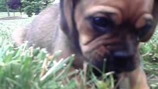 Lupa The Puggle Puppy - Pug Beagle Mix