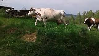 Krowy uciekają z pastwiska
