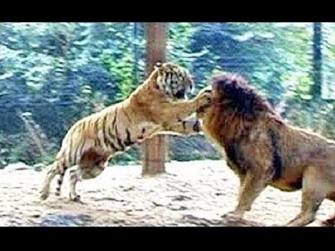 Hổ Chạm Trán Sư Tử  -  Các Trận Đánh Giữa Hổ và Sư Tư  -  Ai sẽ thắng😀