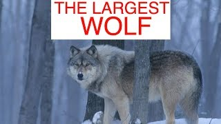 The Largest Wolves In The World (Compilation #1)