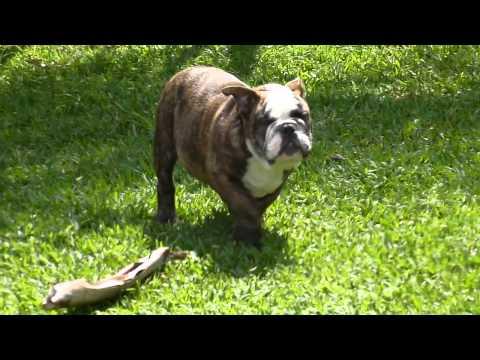 Big Papi Bulldogs - Bigpapibull The Mack (jugando1)