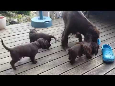 Field Spaniel puppies playing with mum