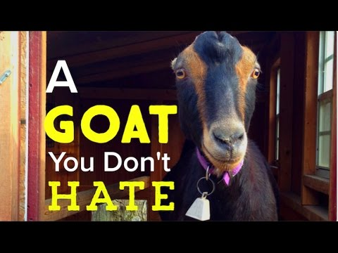 huge discount ced0a 3d77f On Buying Goats - How To Buy a GREAT Goat for Your Homestead
